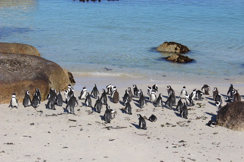 Boulders Penguin Colony_1