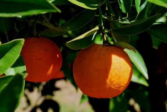 Farmstay: Orangen im Garten