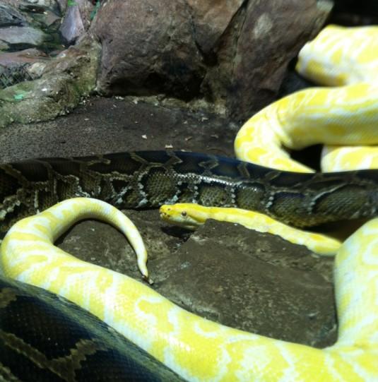 31 Eine albino und eine normale Schlange