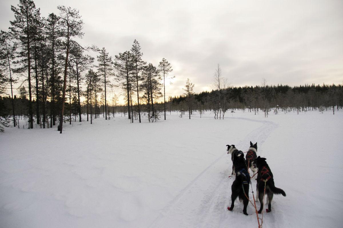 Mit dem Hundeschlitten durch die Wildnis Finnlands