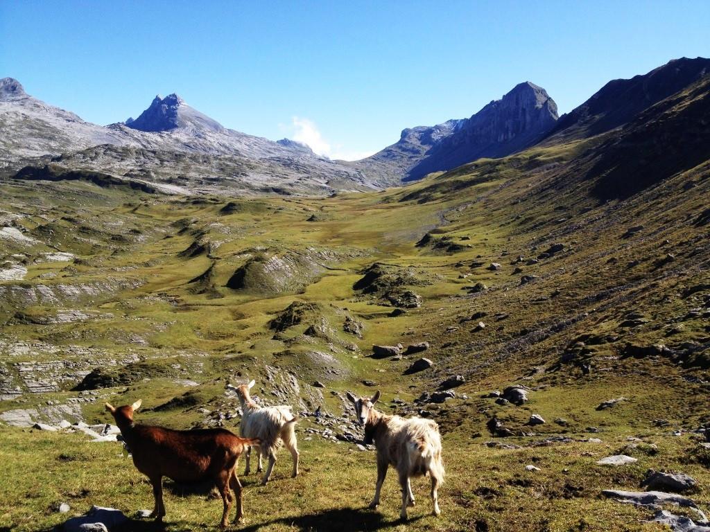 Wandern auf der Glattalp mit 2000 Schafen und hinterherlaufenden Ziegen