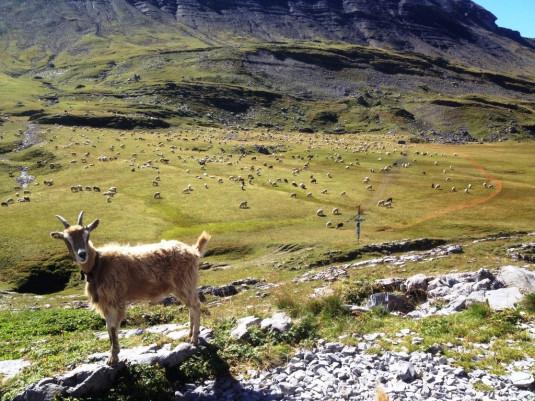 13 Eine Ziege, 2000 Schafe