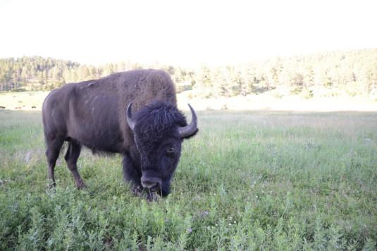 Bild 4_Buffalo