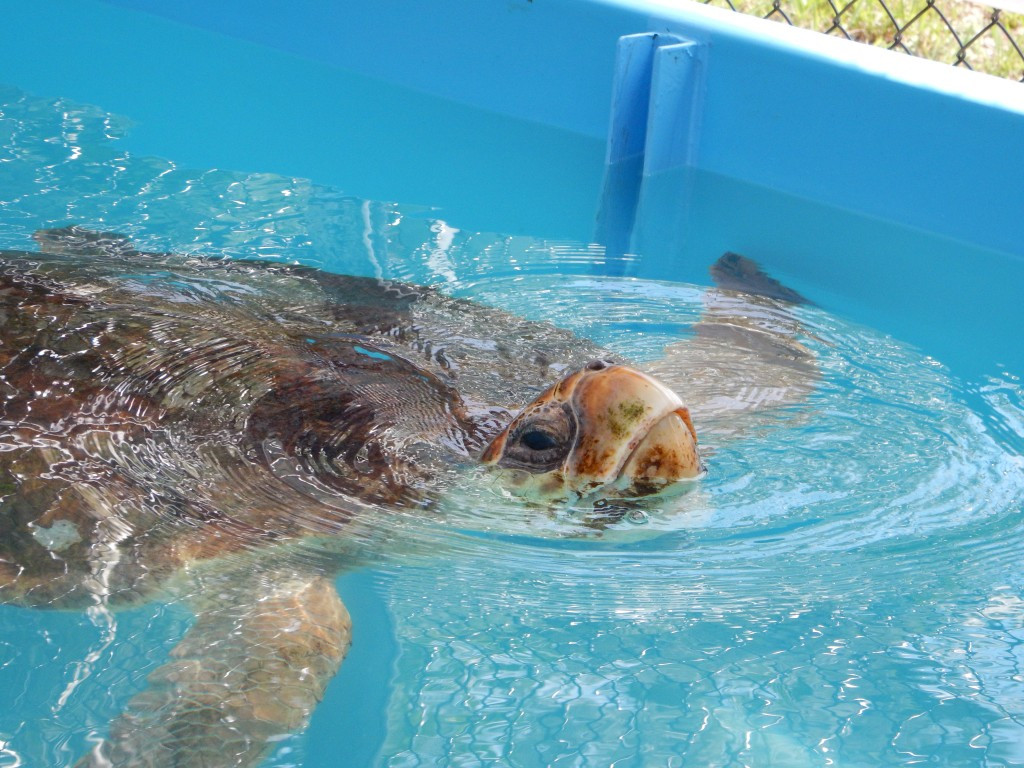 Die Schildkröten von Marathon
