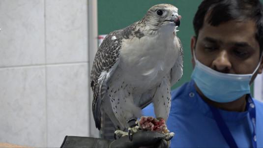 Abu Dhabi, Falcon Hospital, Falke 1