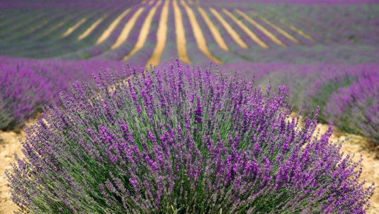 Ein Lavendelfeld in der Provence
