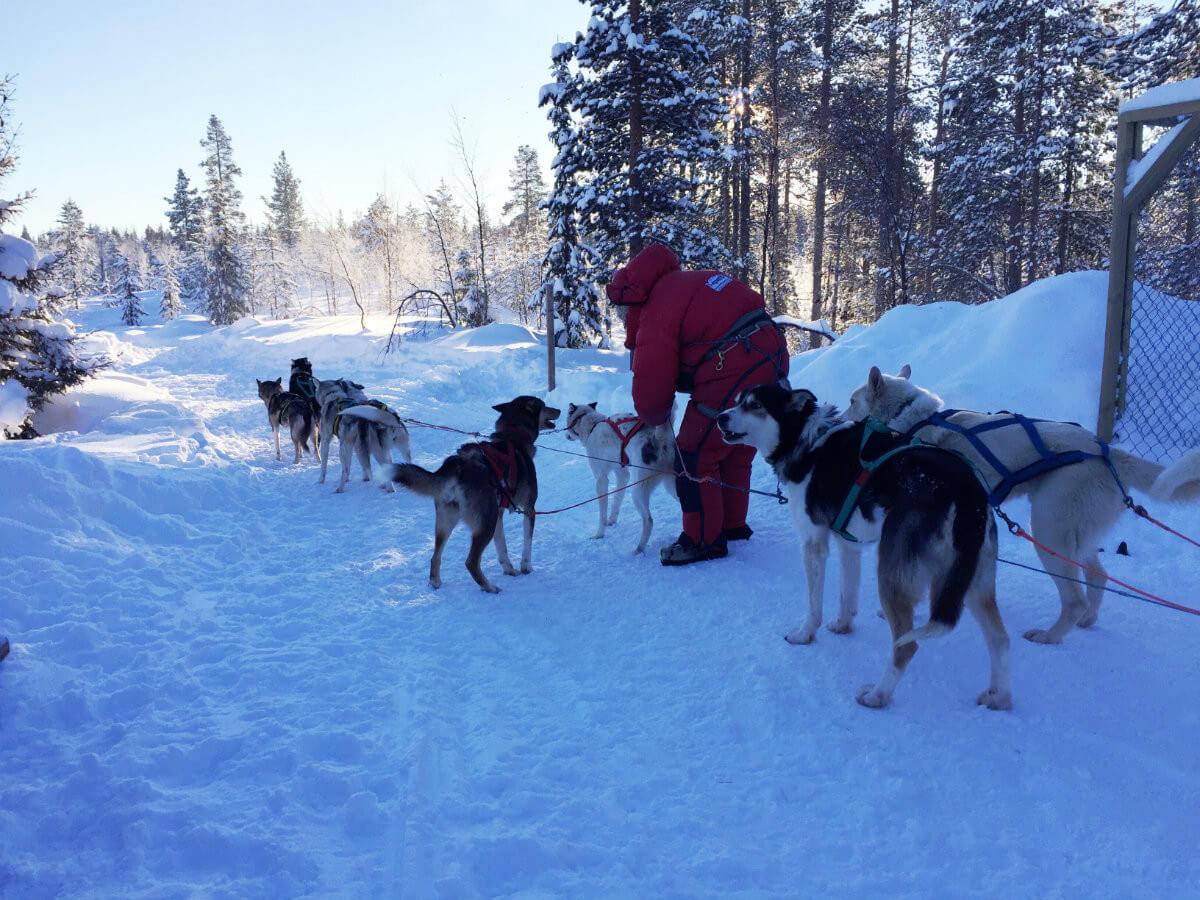 lappland-schweden-huskys hundeschlitten mushen winter schnee landschaft