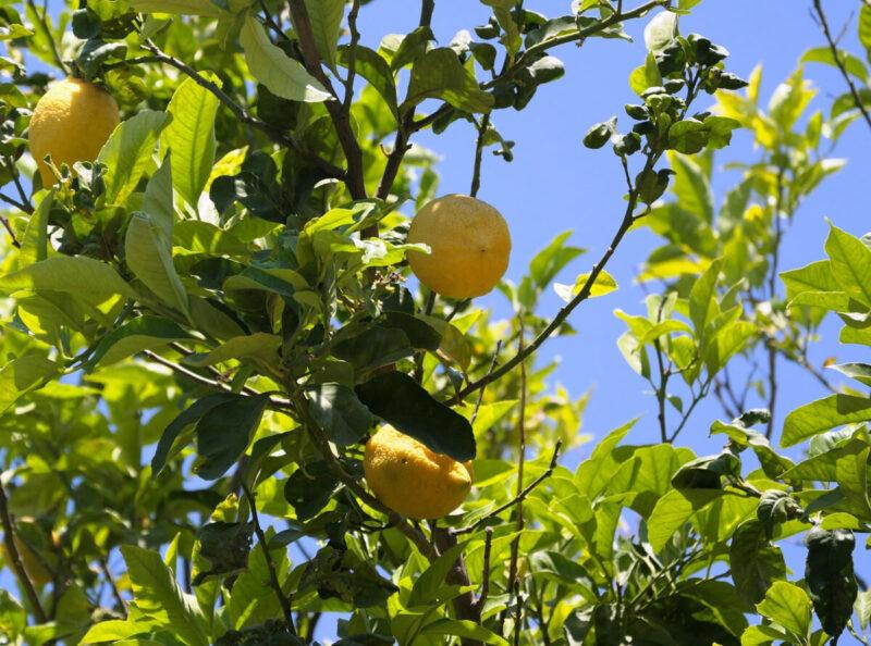 Zitronen Limone Italien Procida