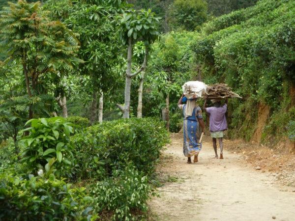 Sri Lanka Tempel Teeplantage Rundreise