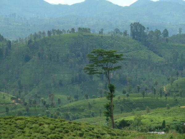 Sri-Lanka-Tee-Teeplantagen-Rundreise-Reise-Tipps