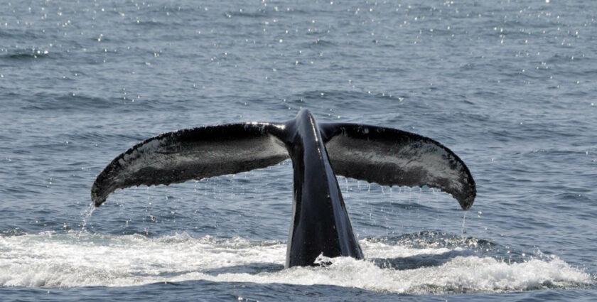 Whale watching in Kolumbien – auf Augenhöhe mit dem Buckelwal