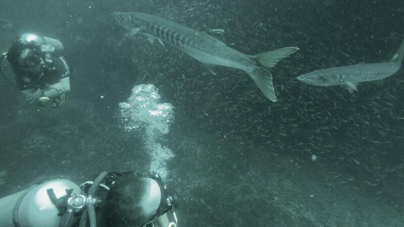 begegnung-mit-barracudas