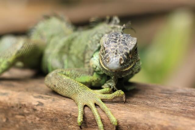 Ein Leguan im Green Iguana Conservation Project